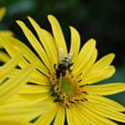 Yellow Daisy And Bee  Art Print