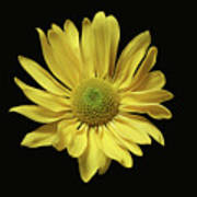 Yellow Daisy Art Print
