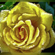 Yellow flower carpet rose photograph by peter hogg yellow flower carpet rose poster mightylinksfo
