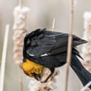 Yellow Headed Blackbird #7 Art Print