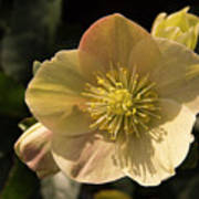 Yellow Helleborus Art Print