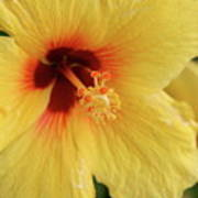 Yellow Hibiscus 2 Art Print