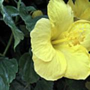 Yellow Hibiscus Watercolor Art Print