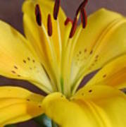 Yellow Lily 2 Art Print
