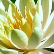 Yellow Lily Burst Art Print
