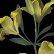 Yellow Lily On Black Art Print