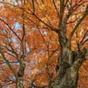 Yellow Maple Tree Art Print