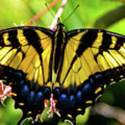Yellow Monarch Butterfly On Milkweed #2 Art Print