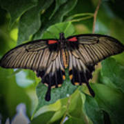 Yellow Mormon Art Print