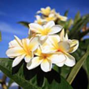 Yellow Plumeria Flowers On Maui Hawaii Art Print
