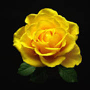 Yellow Rose 6 Art Print