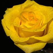 Yellow Rose  - Friendship,joy,good Health Art Print