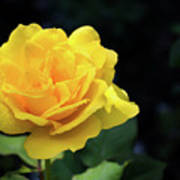 Yellow Rose - Full Bloom Art Print