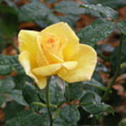 Yellow Rose In The Rain Art Print