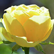 Yellow Rose In The Sun Art Print