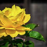 Yellow Rose Of Los Gatos Art Print