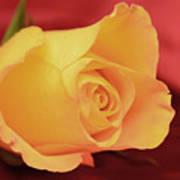Yellow Rose On Red Art Print