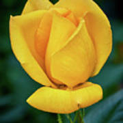 Yellow Rose Art Print