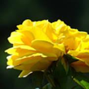 Yellow Rose Sunlit Rose Garden Landscape Art Baslee Troutman  Art Print