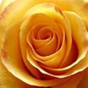 Yellow Rose Upclose Art Print