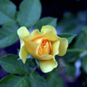 Yellow Rose With Purple Contrast 0357 H_2 Art Print