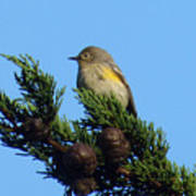Yellow-rumped Warbler On Cedar Bough Art Print
