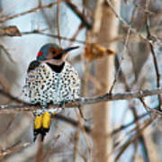 Yellow-shafted Northern Flicker Staying Warm Art Print