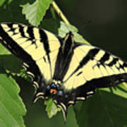 Yellow Swallow Tail Butterfly Art Print