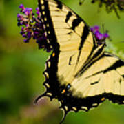 Yellow Swallowtail Art Print