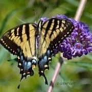 Yellow Swallowtail Butterfly Two Art Print