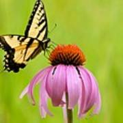 Yellow Swallowtail On Cone Flower Art Print