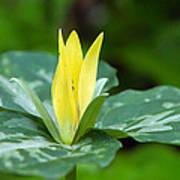 Yellow Trillium Flower Trillium Luteum Art Print