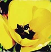 Yellow Tulip 2 Art Print