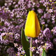 Yellow Tulip In The Garden Art Print by Garry Gay