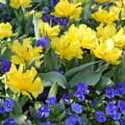 Yellow Tulips And Violets Art Print