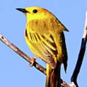 Yellow Warbler #2 Art Print
