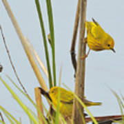 Yellow Warblers Art Print