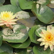 Yellow Water Lillies Art Print