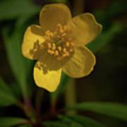 Yellow Wood Anemone 3 Art Print