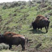 Yellowstone Bison Art Print