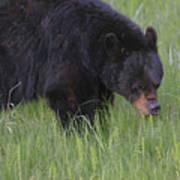 Yellowstone Black Bear Grazing Art Print