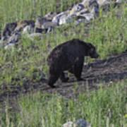 Yellowstone Black Bear Art Print
