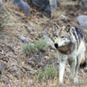 Yellowstone Grey Wolf Art Print