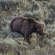 Yellowstone Grizzly Art Print