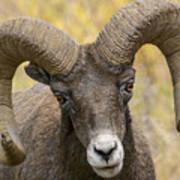 Yellowstone Ram Art Print