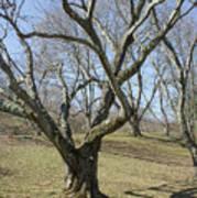 Yellowwood Tree In Winter Art Print