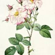 York And Lancaster Rose Art Print