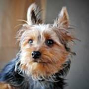 Yorkshire Terrier Dog Pose #3 Art Print