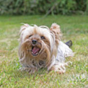 Yorkshire Terrier Is Smiling At The Camera Art Print