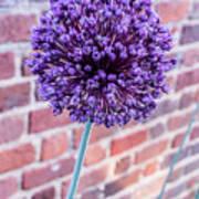 Yorktown Onion Bloom Art Print